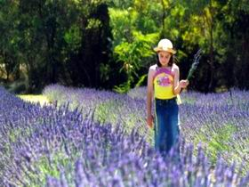 Brayfield Park Lavender Farm - Accommodation Mount Tamborine
