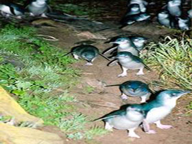 Penneshaw Penguin Centre - Accommodation Mount Tamborine
