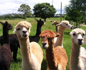 Banyandah Alpacas - Accommodation Mount Tamborine