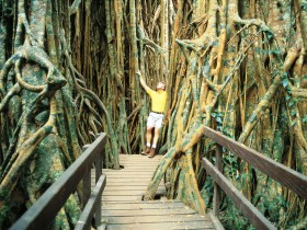 Curtain Fig Tree - Accommodation Mount Tamborine