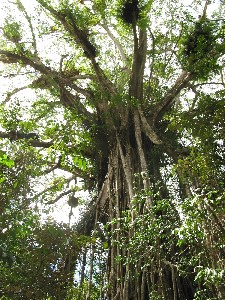 Cathedral Fig Tree - Accommodation Mount Tamborine