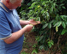 Wombah Coffee Plantation - Accommodation Mount Tamborine