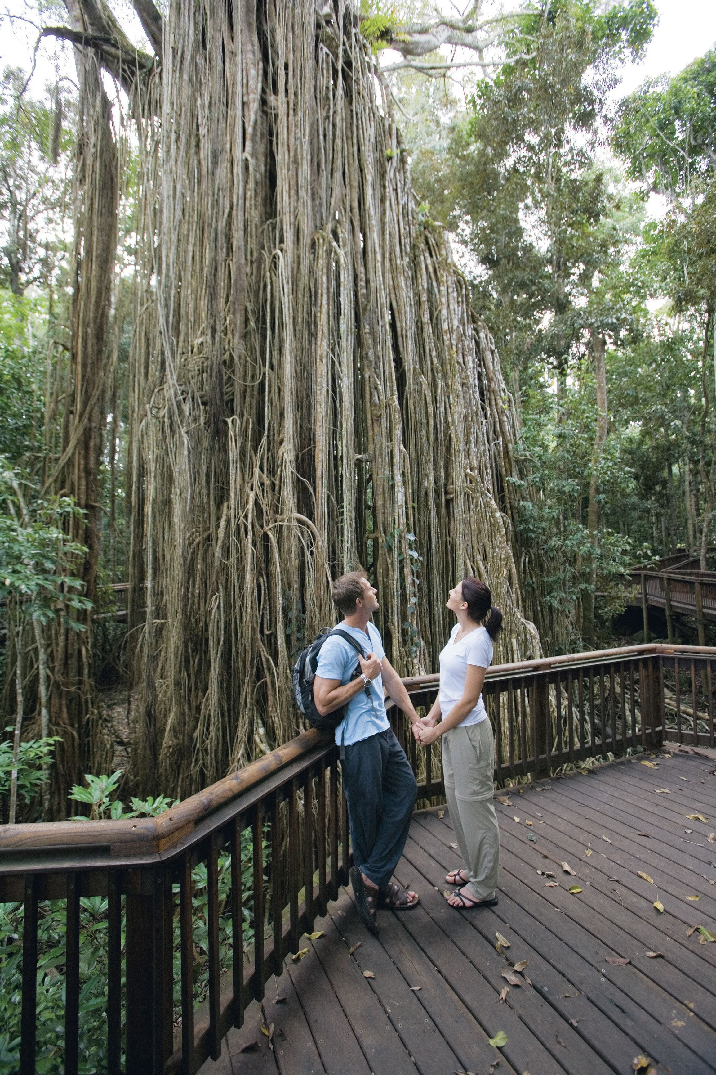 Curtain Fig Tree Yungaburra - Accommodation Mount Tamborine