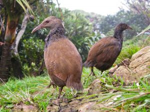 Lord Howe Island Bird Week - Accommodation Mount Tamborine
